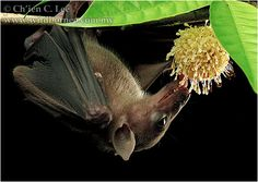 Singapore - Cave Nectar Bat (Eonycteris spelaea)