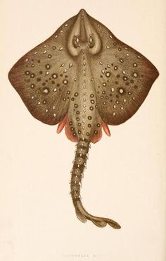 "Thornback Ray from ""A History of the fishes of the British Islands"", 1862-67 by Jonathan Couch"