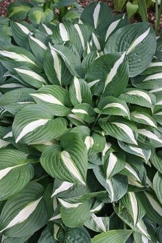 Hosta for sale,Plantain Lily,Buy Hostas,Hosta Plants,Hosta Nursery Plantain Lily, Plants, Garden Shrubs, Foliage Plants, Medicinal Plants, Hummingbird Plants, Garden Plants, Landscaping Plants, Hosta Plants