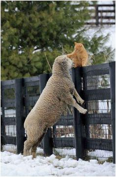 Unlikely Friends ➖➖➖➖➖➖➖➖➖ Cat ➖➖➖➖➖➖➖➖➖ Sheep Farm Animals, Animals And Pets, Funny Animals, Cute Animals, Wild Animals, Beautiful Creatures, Animals Beautiful, Unlikely Friends, Tier Fotos