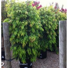 Buy Waterhousia floribunda Weeping Lilly Pilly from Online Plants Melbourne, A medium to large, evergreen tree with long, dark, glossy leaves which turn red before dropping. Hedges Landscaping, Modern Landscaping, Front Yard Landscaping, Landscaping Ideas, Garden Trees, Trees To Plant, Drought Tolerant Trees, Hedging Plants, Shrubs