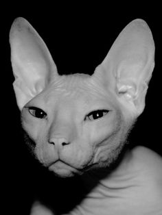 looks like my grandpa sphynx Rare Cats, Cats And Kittens, Cats Meowing, Around The Fur, Gatos Cool, Hairless Dog, Sphinx Cat, Rex Cat, Here Kitty Kitty