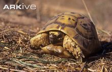 Greek tortoise, anterior view - View amazing Greek tortoise photos - Testudo graeca - on Arkive Red Footed Tortoise, Giant Tortoise, Different Types Of Turtles, Sulcata Tortoise, Pet Turtle, Carapace, Pet Care Tips, Reptiles And Amphibians, Tortoises