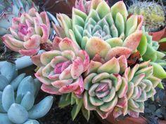 echeveria 'gilva' by succulentville80