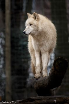 Wolf Photo by ©Janjetovic M. Wolf Photos, Wolf Pictures, Animal Pictures, Beautiful Creatures, Animals Beautiful, Cute Animals, Wolf Spirit, Spirit Animal, Cane Corso