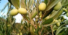 Alt du trenger å vite om olivenolje