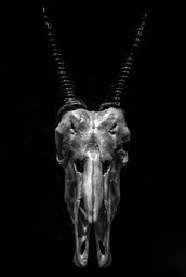 Oryx Skull #chiaroscuro #skulls #buyfineart via @jamesaiken09