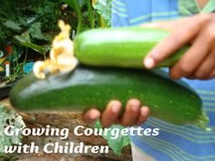 Growing courgettes w