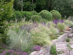 Przetacznik+trawy Summer - Mexican Feather Grass, Salvia, evergreen backdrop , and short perennial in front