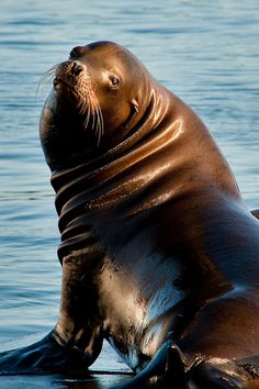 Sea Lion, Newport, Oregon