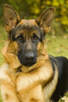 new german shepherd images free - Google Search