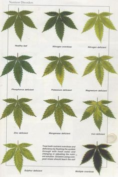 Joe's Fresh Guide to Sick Plant Diagnosis - Cannabis Infirmary - International Cannagraphic Magazine Forums Growing Weed, Cannabis Growing, Weed Plants, Medicinal Plants, Medical Cannabis, Cannabis Oil, Cannabis Plant, Planta Cannabis, Weed