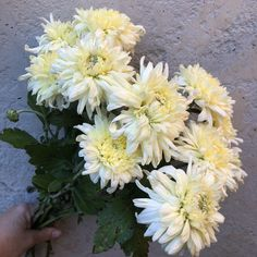 French Vanilla Chrysanthemum French Vanilla, Chrysanthemum, Cut Garden, Nature, Flowers, Plants, October, Gardening, Naturaleza