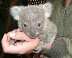 Koala Joey cutie cutie cutieeeeee❤️