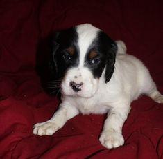 English Setter puppy for sale in OWATONNA, MN. ADN-66939 on PuppyFinder.com Gender: Male. Age: 6 Weeks Old