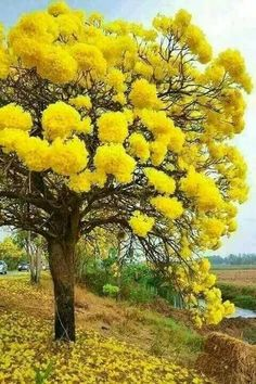 Mimosa tree - love these trees, their scent is beautiful! Mimosa tree - love these trees, their scen Trees And Shrubs, Flowering Trees, Trees To Plant, Bonsai Trees, Unique Trees, Colorful Trees, Beautiful Flowers, Beautiful Places, Beautiful Beautiful