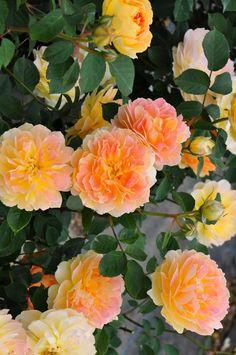 'Molineux' | Shrub. English Rose Collection. Bred by David C. H. Austin (United Kingdom, 1994)
