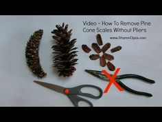 Remove Pine Cone Scales Easy Method. Skip to 5:00, and then to 8:00. Good tutorial but long winded.