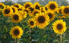 Sunflowers from L'Occitane