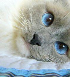 Preciosos ojos azules de #gato ;) #mascotas #cute #adorable