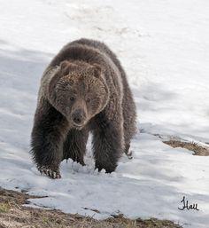 Springtime Yellowstone Grizzly Bear