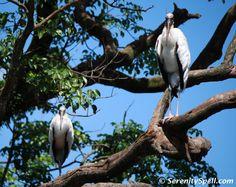 The larger wading birds: Roosting Wood Storks, Florida