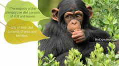 Common Chimpanzee - The great ape smart