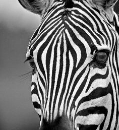 Natural Lines stunning close-up photo of a wild African Zebra, in black and white. Taken in the Masai Mara, Kenya