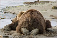 The rivers are filling with silt and the salmon are disappearing. Bear is sad--and hungry. Animals And Pets, Baby Animals, Funny Animals, Cute Animals, Beautiful Creatures, Animals Beautiful, The Bear Family, Love Bears All Things, Tier Fotos