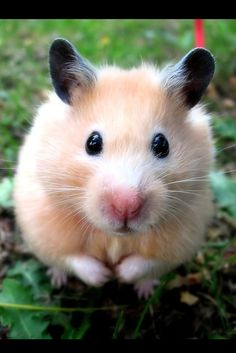 I just love hamsters, so cute! I Love the black ears on this one!