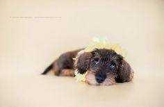 . Dachshund Puppies, Dachshund Love, Cute Puppies, Cute Dogs, Dogs And Puppies, Daschund, Doggies, Wire Haired Dachshund, Crazy Dog Lady