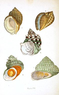 Animal - Sea shell - Beautiful shells 1  Download for free from vintageprintables.com