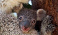 Koala eli pussikarhu nauttii eukalyptusten lehdistä ja nukkumisesta.