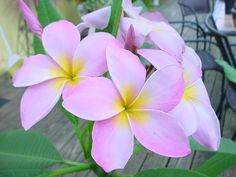 And a plumeria that is pink perfection!!