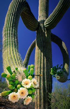 Blooming Saguaro Cactus - Saguaro National Park, Near Phoenix, Arizona