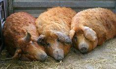 Mangalitsa breed of pigs