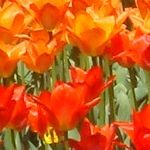 Bright orange and red tulips [Pic 4 of 9] ♥ Pinterest.com/Hacks