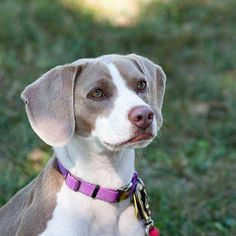 Meet Daisy, an adoptable Beagle looking for a forever home. If you're looking…