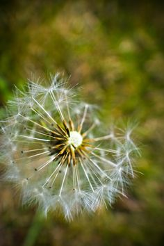 #dandelion #photography #nature