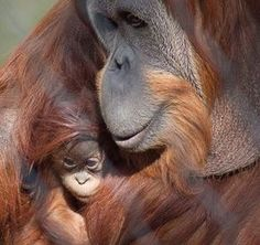 Orangutans, Fresno Chaffee Zoo