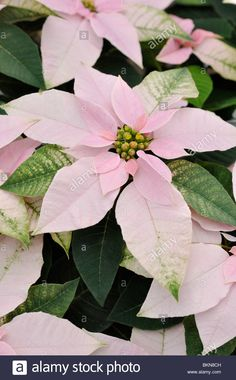 Download this stock image: Christmas star (Euphorbia pulcherrima 'Princettia Pink') - BKN8CH from Alamy's library of millions of high resolution stock photos, illustrations and vectors.