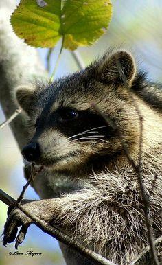 Wild Animals - Little bandit raccoon. - by Lisa Myers
