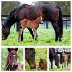 She's a stunner. Black Caviar with filly foal by Exceed and Excel born 13th Sept 2014. Mum and daughter are doing great. Photos courtesy of Georgina Lomax Photography.