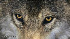fotos de lobos salvajes - Buscar con Google
