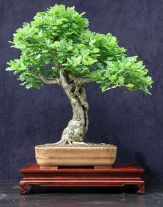 Care guide for the Oak Bonsai tree (Quercus)
