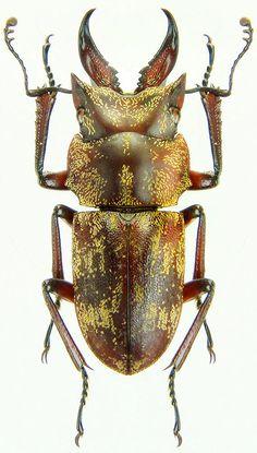 Auxicerus platyceps (Waterhouse,1883) F Lucanidae