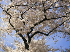 Cherry Trees Blooming in Spring in the Nations Capital Photographic Print by Medford Taylor at AllPosters.com
