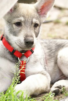 Saarloos Wolfhond. I want one so bad!