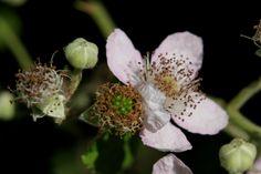 Braam roze bloeiend (Rubus sp.) Foto; Leen de Ruiter