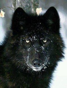 Black wolf (via Angelo Nero)
